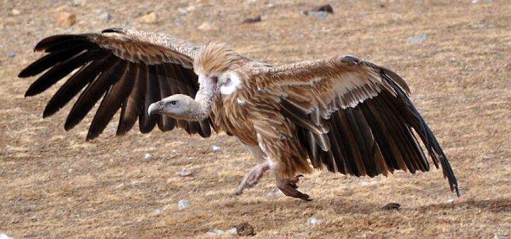 Himalayan griffon vulture running